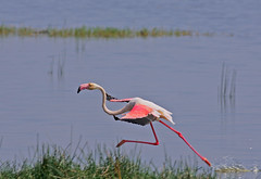 Late for a date! (Rainbirder) Tags: kenya greaterflamingo phoenicopterusroseus lakenakuru rainbirder