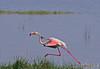 Late for a date! (Rainbirder) Tags: kenya greaterflamingo phoenicopterusroseus lakenakuru rainbirder
