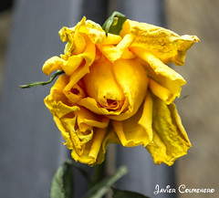 me muero (Javier Colmenero) Tags: españa vitoriagasteiz paísvasco rosamarchita blinkagain