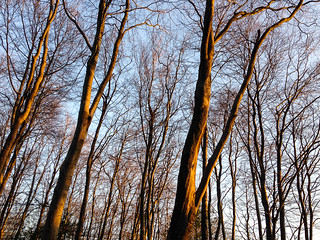 Oak Wood