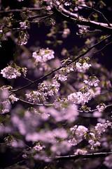 Cherry Blossom (Thomo13) Tags: flowers trees japan garden cherry tokyo spring blossom sakura roppongi hanami izumi