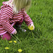 Toddler picks dandelions