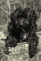 Alfie (piercethelauren) Tags: summer blackandwhite dog white black cute nature wall puppy spring pretty terrier tibetan f56 edit alfie