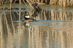 Hooded Merganser Reflection (Thomas Franta) Tags: reflection male water minnesota duck swamp diver drake merganser hoodedmerganser lophodytescucullatus divingduck 70d