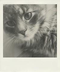 (Vallelitoral) Tags: old blackandwhite bw pet cute blancoynegro beautiful beauty cat vintage polaroid nice bn retro gato iphone flickraward iphonegraphy