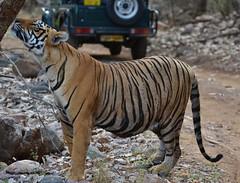 DSC_1260 (soumit p naik) Tags: india nationalpark tiger sultan rajasthan ranthambore zone2 t72 ranthamborenationalpark treemarking royalbengaltiger
