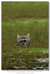 Purple Heron (drkrishi) Tags: india birds asia aves ardea karnataka mangalore ardeidae purpleheron pelecaniformes ardeapurpurea dakshinakannada chordata gurupura mulur