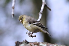 the softness of yellow (captured views) Tags: nature yellow spring goldfinch birding finch americangoldfinch yellowbirds californiabirds birdsasart birdportraits canoneos7d northerncaliforniabirds capturedviews