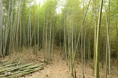 Zhushan Bamboo Forest 8 (Bob Hawley) Tags: mountains outdoors asia farming taiwan bamboo agriculture zhushan nantoucounty nikon1755f28 nikond7100