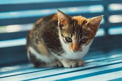 Life is getting too hard...I just want to be a cat ^__^ (yemaria) Tags: cat indonesia kitten feline raw 猫 kucing manggar 观音庙 belitong eastbelitung yemaria nikond800e viharaburungmandi viharakwanim