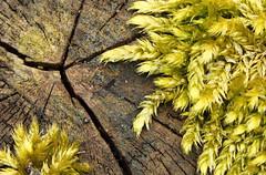 Lichen on wood (gazzas_pics) Tags: wood flower tree nature up yellow garden close lichen 500d