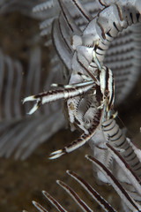 Living on the Crinoid (PacificKlaus) Tags: ocean macro underwater philippines scuba diving negros marinelife coevolution dauin crinoid commensalism crinoidshrimp allogalatheaelegans periclimenes crinoidsquatlobster