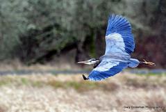 Great Blue Heron (Gary Grossman) Tags: winter bird heron rain landscape flying flight hunter predator greatblueheron ridgefield garygrossman garygrossmanphotography