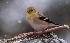 goldfinch (Family Man Studios) Tags: winter snow nature birds wildlife delaware newark newarkdelaware backyardbirds winterscenery delawareonline dougholveck