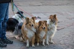 The Leader and the pack (Infomastern) Tags: street city people dog house animal hund gata hus stad djur ystad mnniska