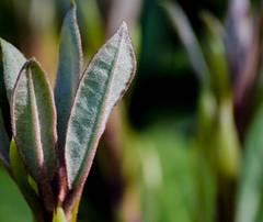 Sugar and spice... (bankst) Tags: macro spring nikon rhododendron newgrowth flowerbud d5100 beyondbokeh