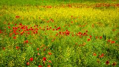 Pflanzen_024  Blumenfeld (wenzelfickert) Tags: plant pflanzen poppy mohn mohnblume poppyfield blumenfeld mohnblumenfeld