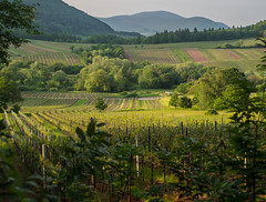 Vineyards and woods near Ranschbach / Palatinate (leif_85) Tags: astoundingimage