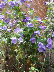 Purple Mallow (Arkensiel Photographs) Tags: flowers purple mallow ely cambridgeshire blipmeet