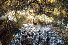 Cisne negro (Pacnidas) Tags: madrid trees sunset espaa lake primavera nature water 35mm lago spring spain agua europa europe bokeh fullframe blackswan capricho elcapricho samyang alamedadeosuna rokinon sonya7 samyang35f14 samyang35mmf14asumc