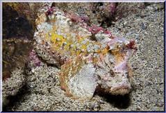 270904 Anglerfish 3 K (LoxPix2) Tags: loxpix australia underwater fish fiji vanuatu shark noumea cairns ascidian sponge