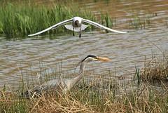 Bugger Off Mr Heron! (WhitePointer) Tags: heron blackheadedgull attack rspb leightonmoss