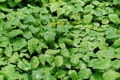 Mai Botanik - 2016-0010_Web (berni.radke) Tags: may growth mai botany botanicalgarden mnster botanik botanischergarten wachstum