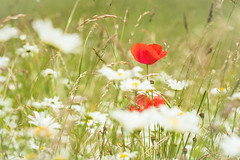 Looking for the summer (helena678) Tags: flowers red summer field grass puppy switzerland puppies nikon meadow daisy