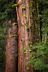 Sequoia trees, Merced Grove (phyto.grapher) Tags: usa sequoia yosemite mammutbaum