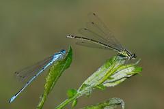 azuurwaterjuffer (Coenagrion puella) (peter nijland) Tags: macro nature dragonfly natuur dew tamron 90mm damselfly twente dauw libel dinkelland almelonordhornkanaal