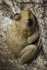 Litoria nannotis (Cameron de Jong) Tags: rock waterfall amphibian frog litoria nannotis