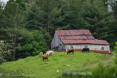 Cow barn (Kelly Lambert Photography) Tags: county mountains barn rural landscape photography nikon cows country northcarolina serene backroads ashe countryroads