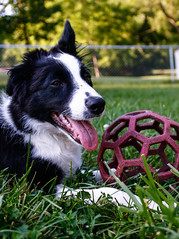 Fate 19 w (Crawford Canines) Tags: summer dog animal puppy puppies play sprinkler tug bordercollie summerfun fetch holleeroller