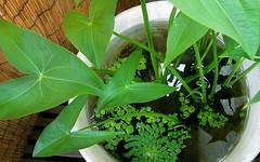 640x399   (kamujp) Tags: arrowhead aquaticplant  sagittariatrifolia