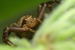 DSCF8037 (faki_) Tags: insect spider fuji fujifilm pk 250 dcr rovar xe1 raynoxdcr250 50230 fujinonxc50230mmf4567ois