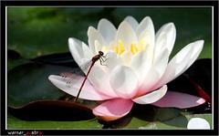 05-16_5713A WIEN (werner_austria) Tags: vienna wien panda libelle tiergarten gloriette eisbr bambus seerose barockgarten schlossschnbrunn astoundingimage kargemahlzeit