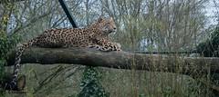 Panter/ Leopard (pclaesen) Tags: holland netherlands print zoo nederland whiskers leopard predator claws beeksebergen carnivore panter dierentuin luipaard nikond3200 hilvarenbeek pantherapardus roofdier carnivoor nikon55300mm
