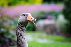 Hey you ! Stop staring at me. (Meg4mi) Tags: portrait nature birds animal animals pentax goose k3 55300 pentaxart