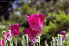 L1008752 (LaBonVampire) Tags: leica flowers nature zeiss carlzeiss zm leicam8 teletessart485 teletessar85