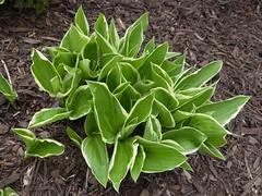 Lombard, IL, Lilacia Park, Young Hosta Plant (Mary Warren (7.0+ Million Views)) Tags: plant green nature leaves spring flora foliage hosta variegation lilaciapark lombardil