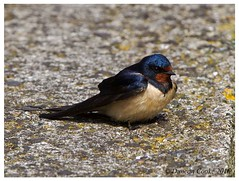 DS0D6745-Swallow,-hirundo-rustica (duncancooke.happydayz) Tags: uk bird nature birds native wildlife british swallow rustica hirundo distinguishedbirds birdperfect naturesgreenpeace