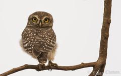 Spotted Owlet. (Vikas.B.Chavan) Tags: nikon d7100 afsnikkor300mmf4difed spottedowlet athenebrama nikontc14eii specanimalphotooftheday naturethroughthelens ngc