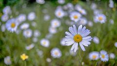 June Beauty (Matthew James Lewis) Tags: flowers beauty daisy bigquilvalley