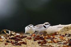 The Chase (craig goettsch) Tags: snowyplover salinasrivernwr endangered threatened bird sand beach dune california montereypeninsula nikon d750 600mm coth ngc springtrip2016 smugmugproofs