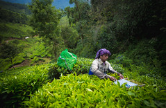 On Duty (srivatsaa) Tags: munnar kerala india travelphotography travel traveling people life teastate travelindia incredibleindia hill mountain westernghats innocent green teaestate lonelyplanetindia natgeo natgeotraveller photography environment