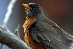 AMERICAN ROBIN (TURDUS MIGRATORIUS) (botavara_50) Tags: am kentucky ave carrollton americanrobin turdusmigratorius concordians