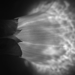 Morning glory (Alan Drake) Tags: flowers bw abstract flower macro nature leaves garden dark square experimental foliage manual d7000