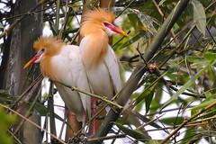 , ,  ( Boti) Tags: taiwan hairstyle wildbirds bamboogrove naturebeauty