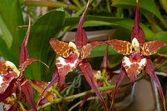 Rhynchostele cordata ('Pacifica' x 'Leopard') species orchid (nolehace) Tags: rhynchostele cordata species orchid 516 spring nolehace fz1000 flower bloom plant sanfrancisco