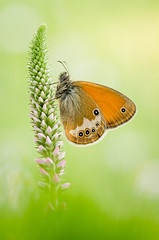 Coenonympha arcania (Marcin Boch) Tags: flower colors butterfly insect spider dragonfly naturallight stackfocus nikond7000 afsdxmicronikkor85mmf35gedvr